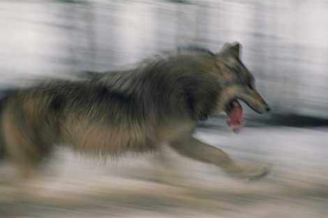 The secret lives of fish-eating, beaver-ambushing wolves of Minnesota