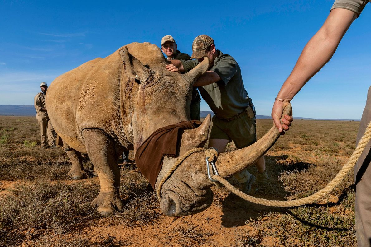 A game rancher near Port Elizabeth who couldn't afford the high cost of protecting his rhinos ...
