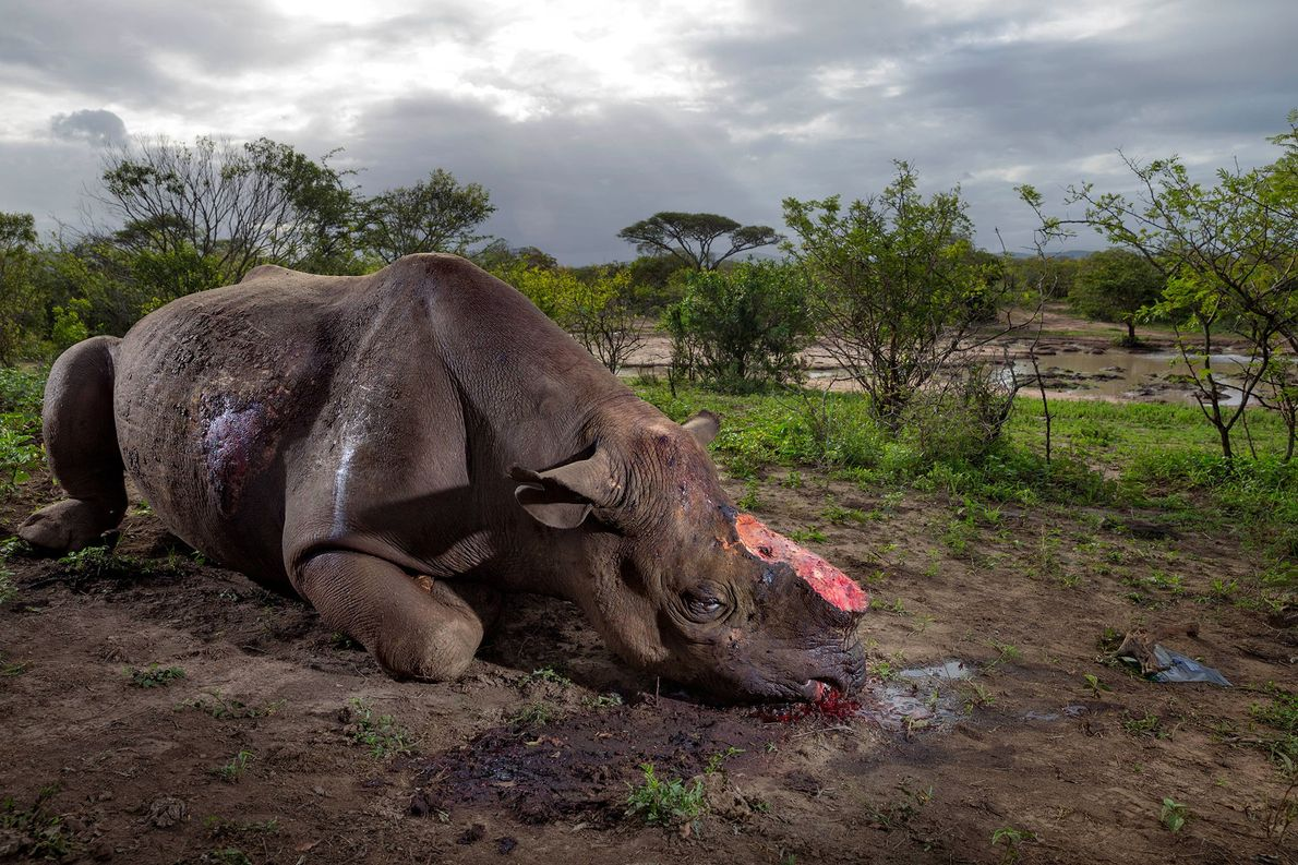 Poachers killed this black rhinocerous for its horn with high-calibre bullets at a water hole in ...