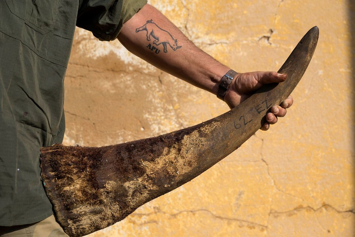 """A security team member (displaying his """"antipoaching unit"""" tattoo) holds a rhino's horn at the ranch ..."""