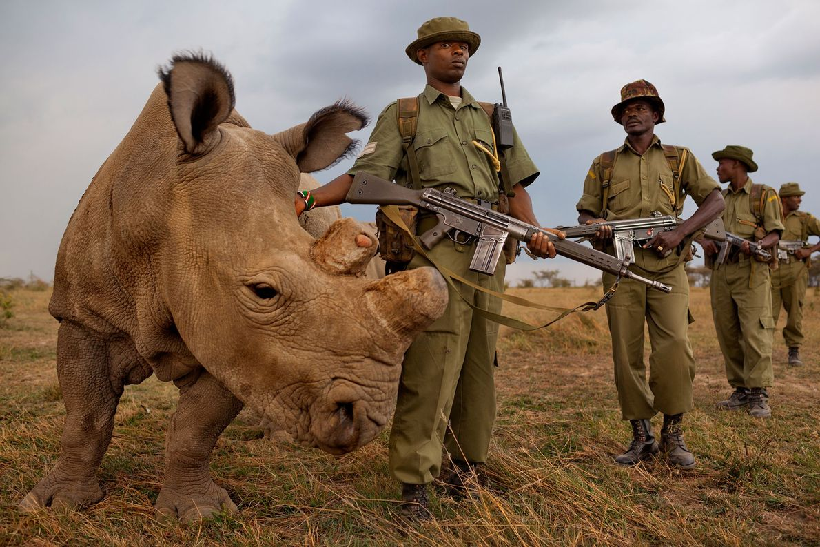 A four-man antipoaching team permanently guards the last remaining male northern white rhino on Ol Pejeta ...