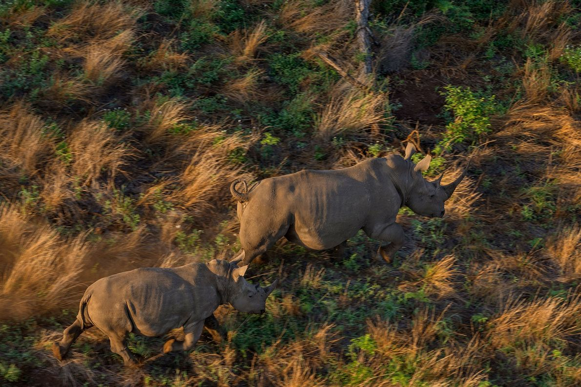 These white rhinos crossed from Kruger into Sabie Game Park in Mozambique, where 29 white rhinos ...