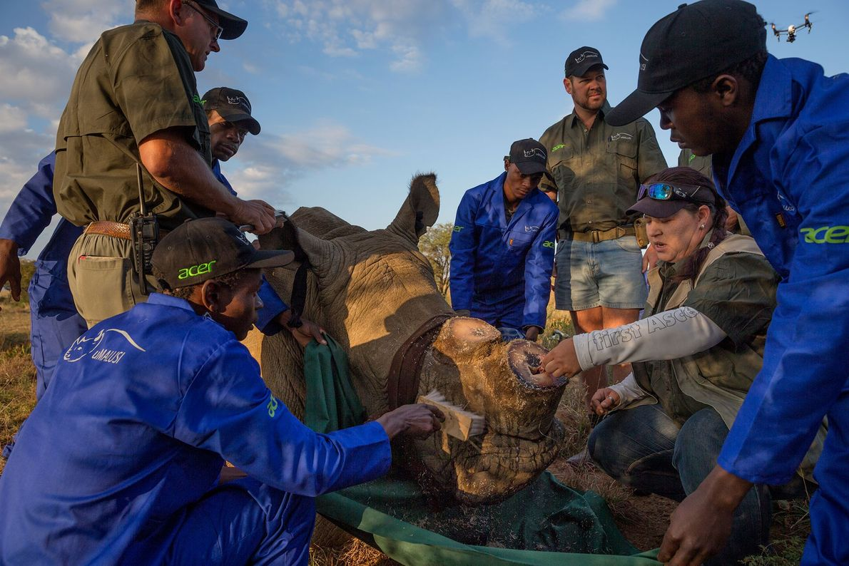 On Hume's ranch, a team led by veterinarian Michelle Otto treats an abscess on a male ...