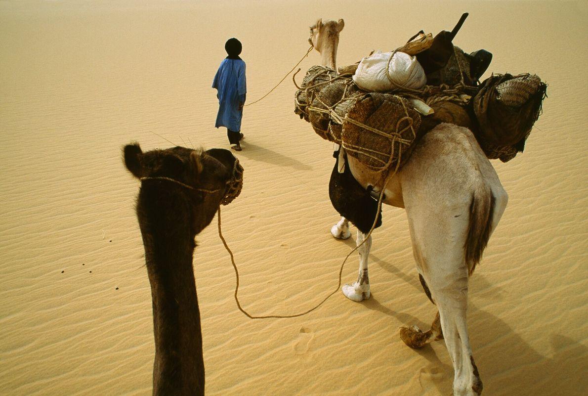 Sahara, 1990: A Tuareg leads dromedary camels across Saharan sand. He wears the traditional Tuareg turban ...