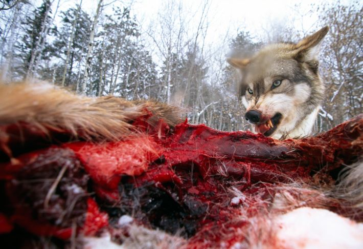A wolf feeding on an elk carcass near Ely, Minnesota. Despite being one of America's most ...