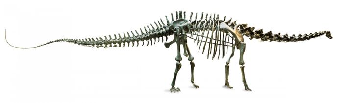 The diplodocus skeleton measures 26 metres from nose to tail, and is 4.17 metres tall.