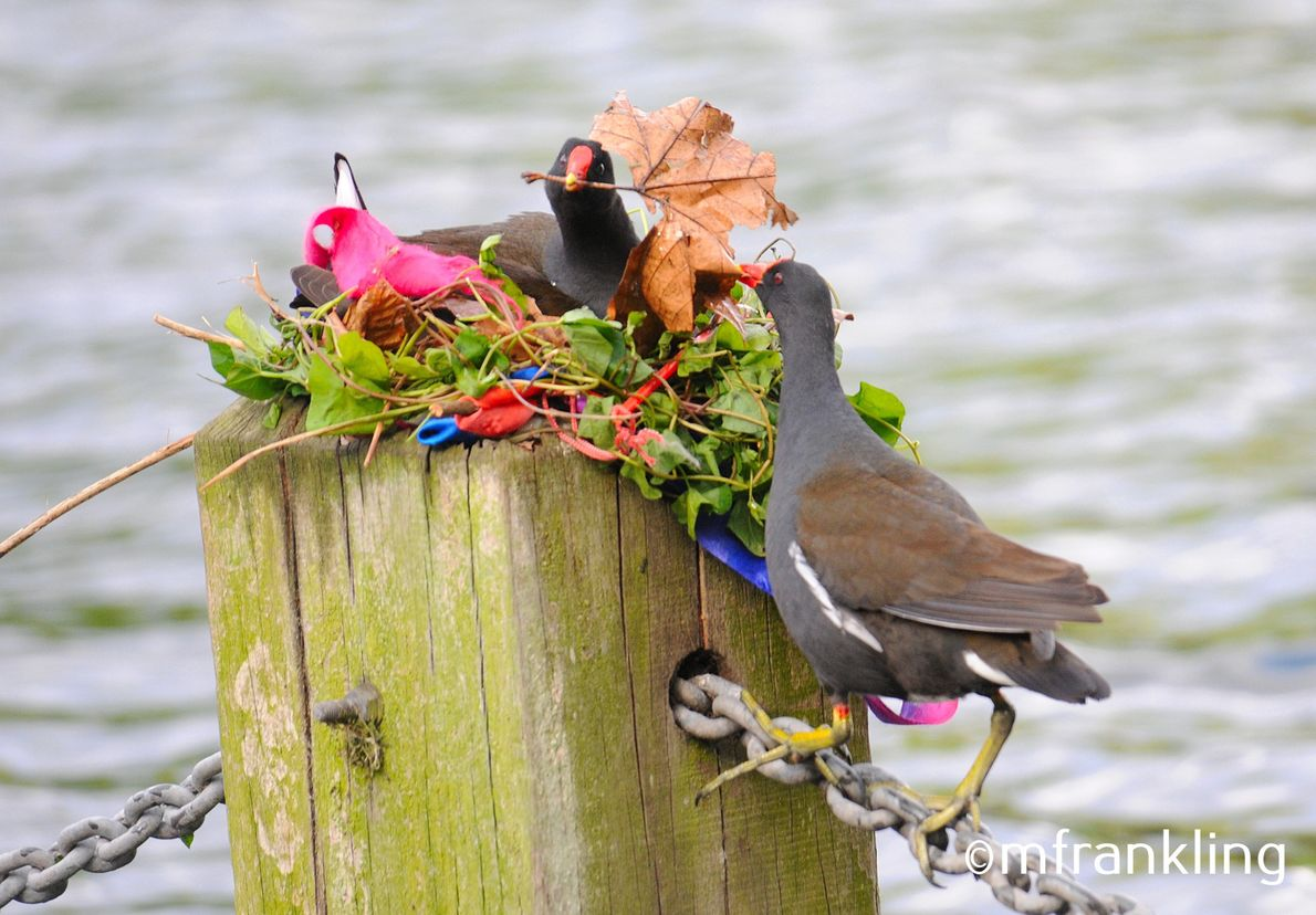 A sign of the environment is the nesting material used by these moorhens.