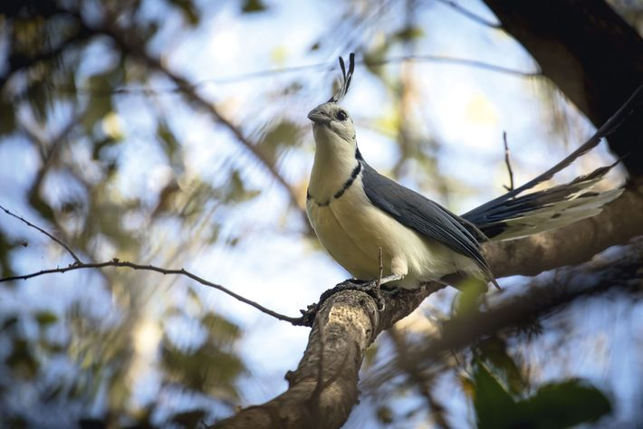 White-throated magpie-jay, a common sight in Nicaragua