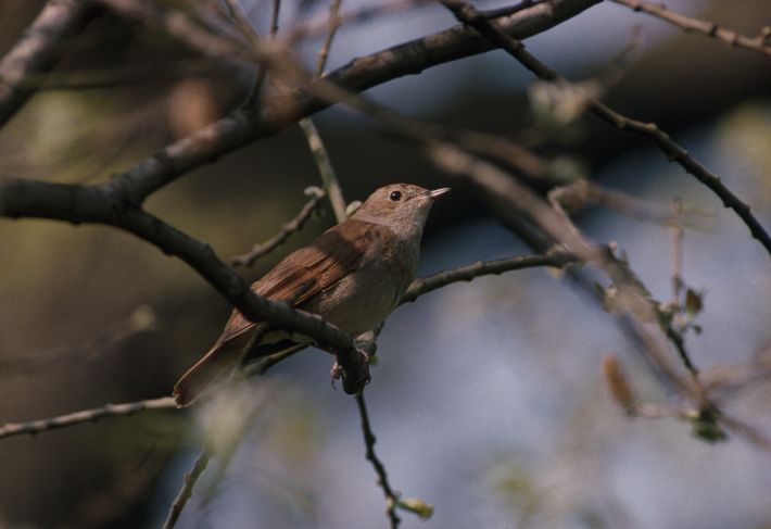 The Nightingale has been immortalised in poetry thanks to its remarkable song, but the ground nesting ...