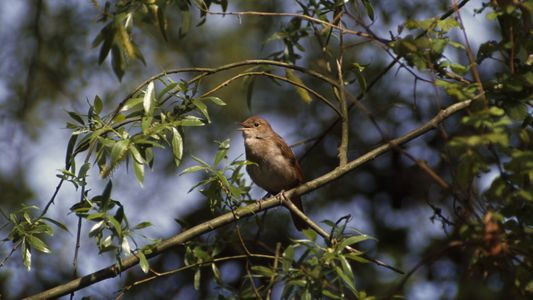 Last Stronghold Of Nightingale Under Threat
