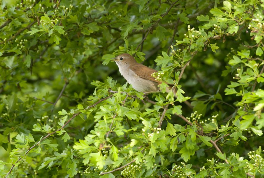 The Nightingale population in the UK has dropped by 90 percent over the past 50 years, ...