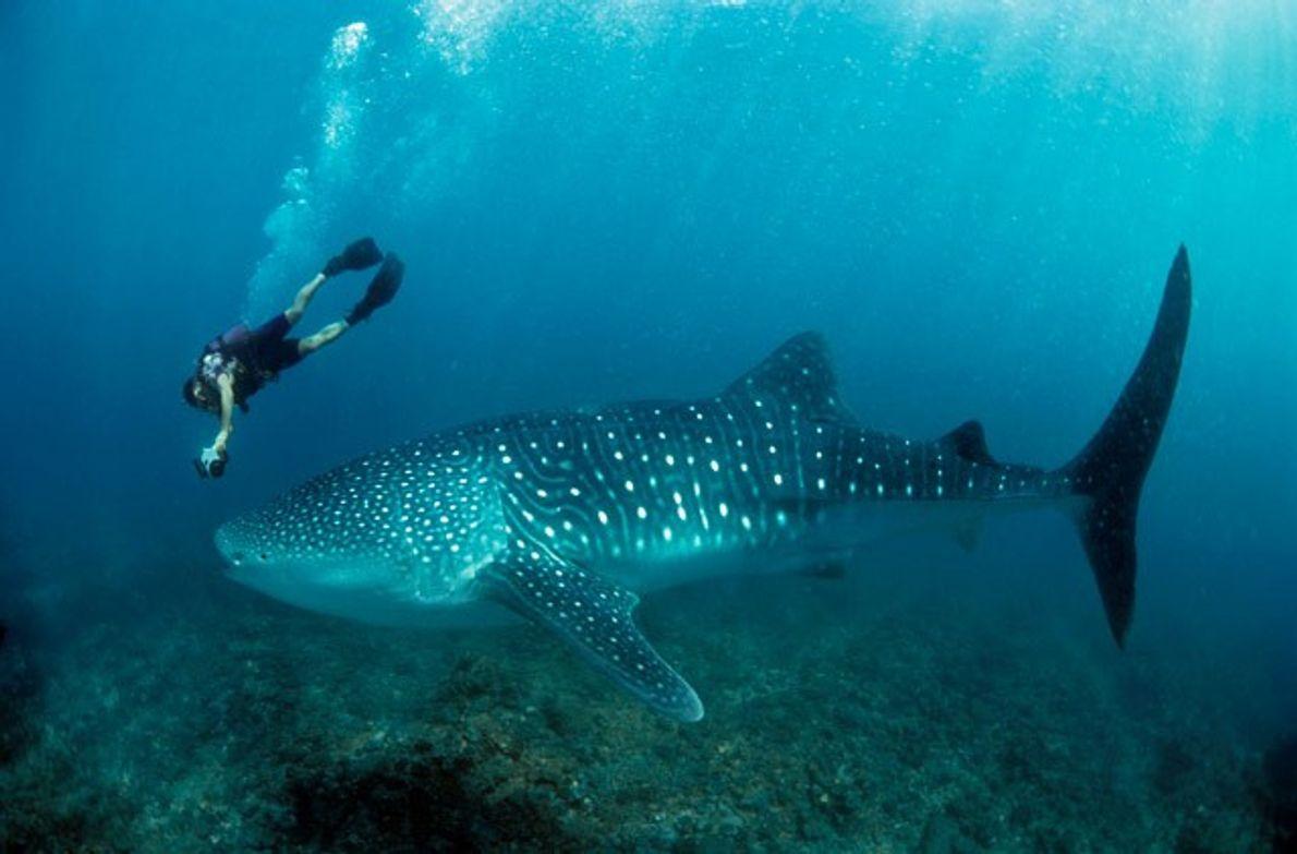 Australia: Whale shark wonders on Ningaloo Reef