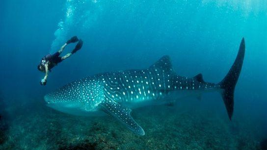 Whale shark wonders on Ningaloo Reef