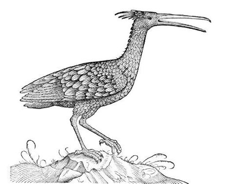 The northern bald ibis, pictured in Gesner's 'Historiæ Animalium book III' of 1555.