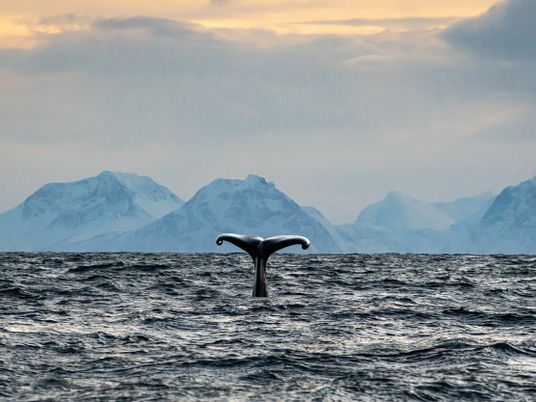 Deep in the arctic winter off Norway, a boat searches the icy ocean for sperm whales