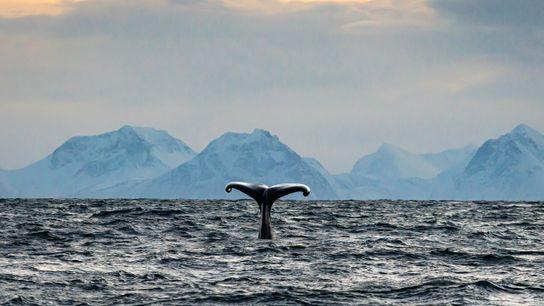 The fluke of a diving male sperm whale. Photo identification of flukes – which bear similar ...