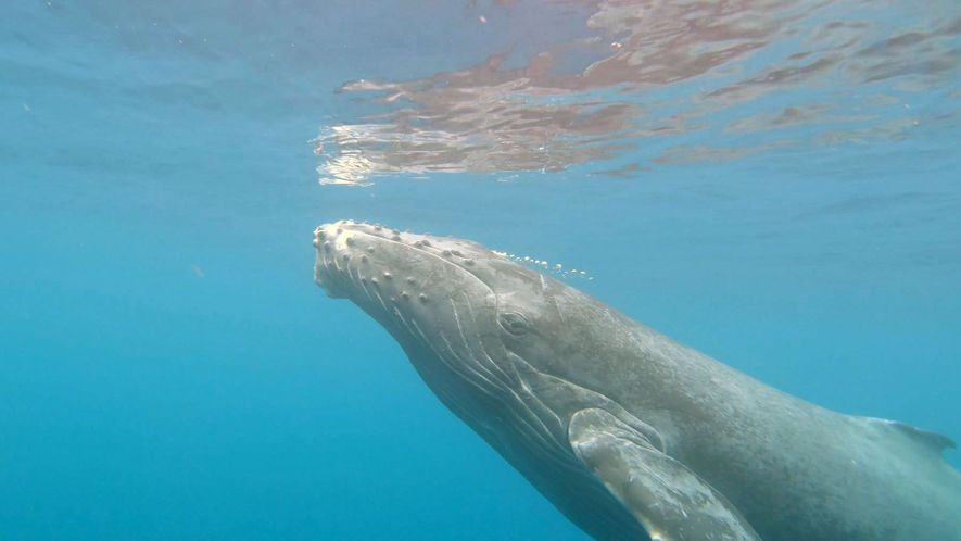 How Does A Humpback Give Birth? These Explorers Plan to Solve the Mystery.