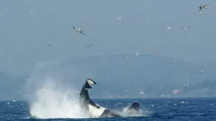 Sperm Whales vs. Orcas