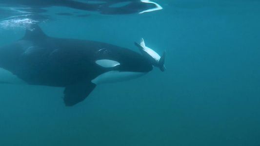 Watch: Why an Orca Spins a Sea Turtle with Its 'Nose'