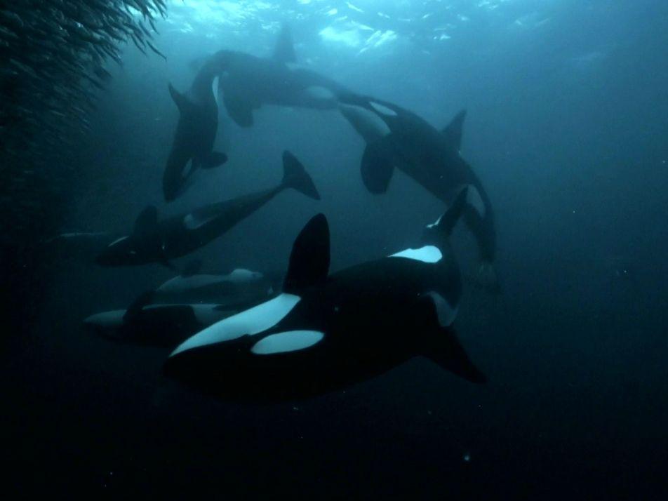 Orca Vs Humpback During Fish Feeding Frenzy