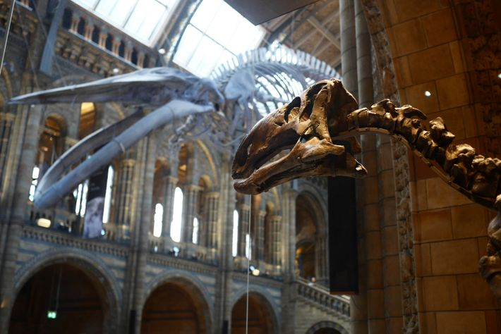 Mantellisaurus peers out of its case into Hintze Hall – where 'Hope' the blue whale skeleton ...