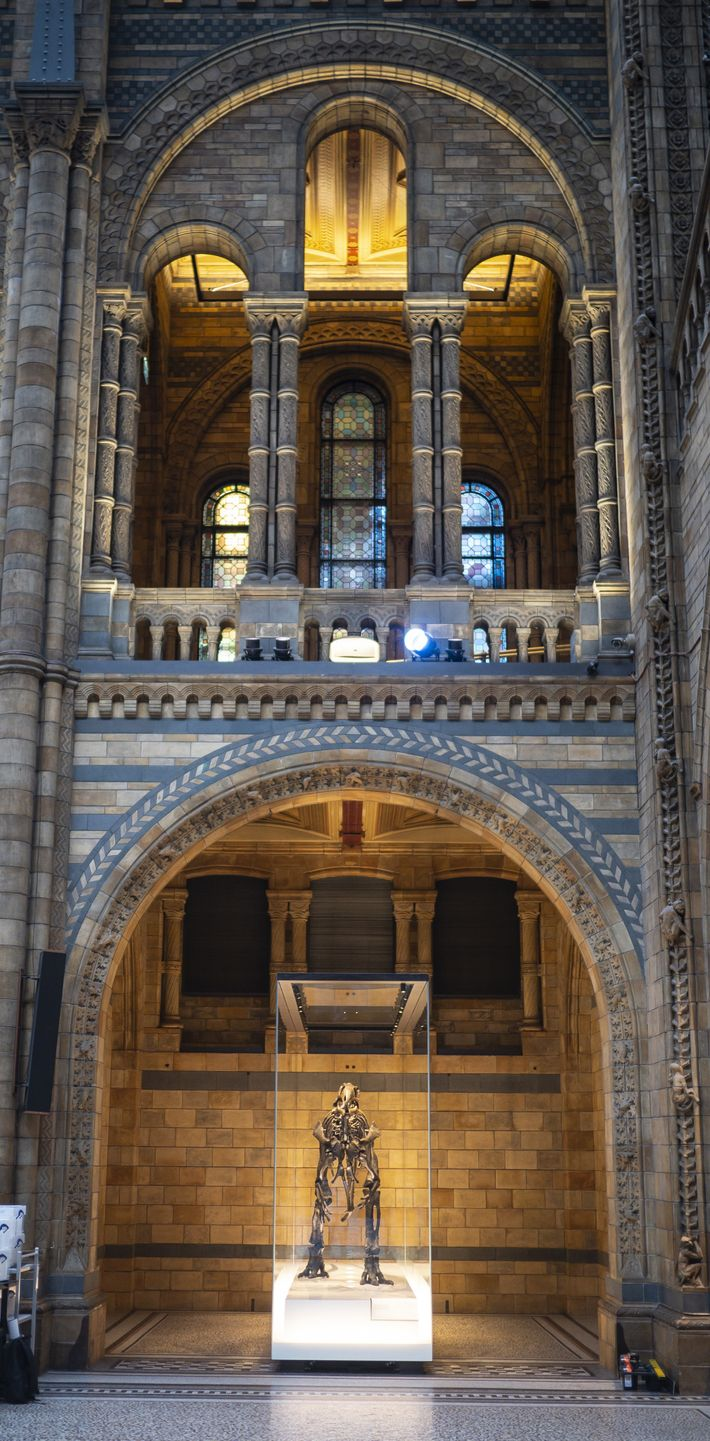 Mantellisaurus is now back on display in Hintze Hall. Like many other specimens, the skeleton has ...