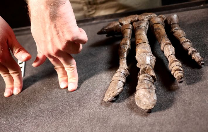 Close examination of the Mantellisaurus hands show flattening of the digits, suggesting there were used for ...