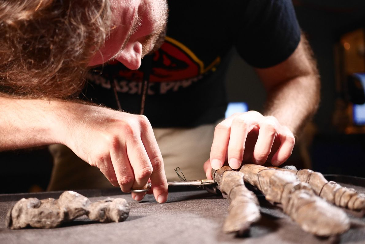 João Leite removes Mantellisaurus hand bones from their armature. Smaller bones are CT scanned in addition ...