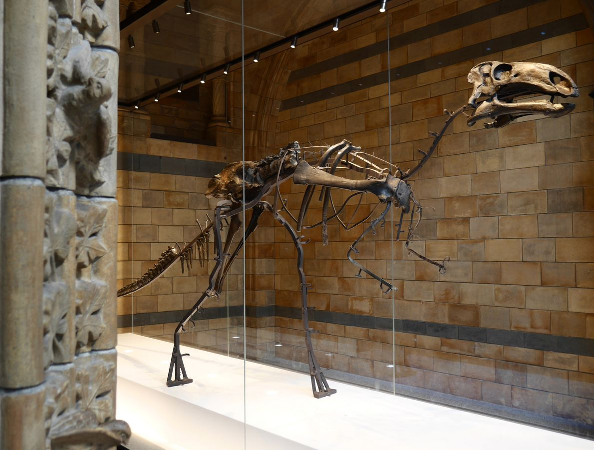 The Mantellisaurus remained on display throughout the scanning process. The bones which could not be removed ...