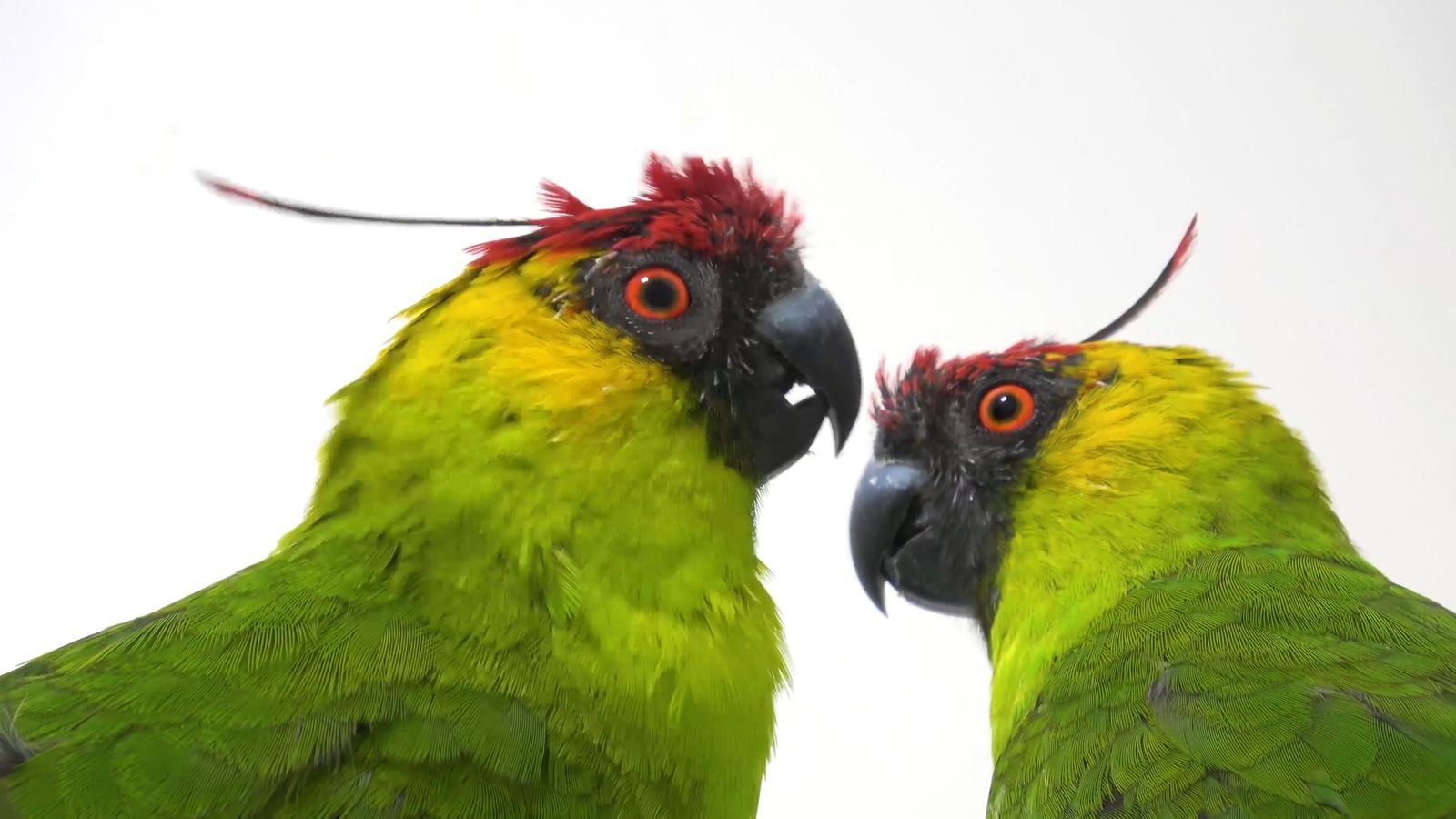 Why Are Parrot Species in Decline?