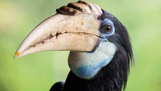 Joanna the hornbill at Karawari Lodge