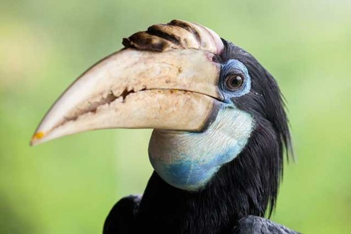 Joanna the hornbill at Karawari Lodge