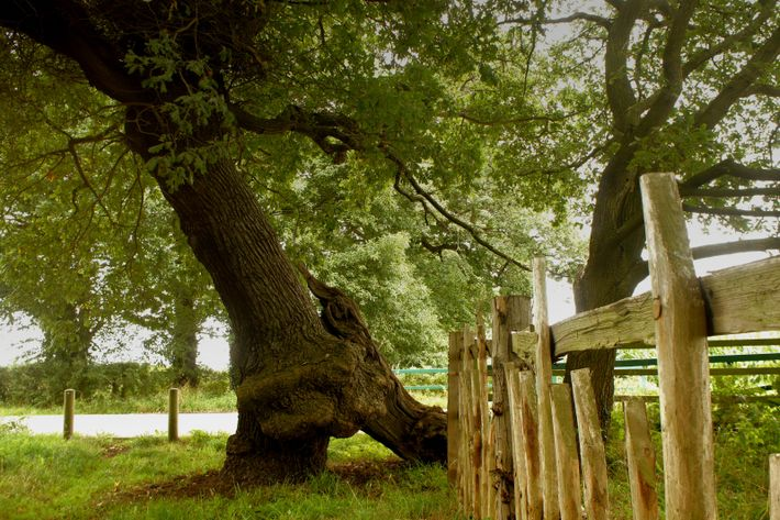 This tree was already 400 years old when it got its name - from King John ...