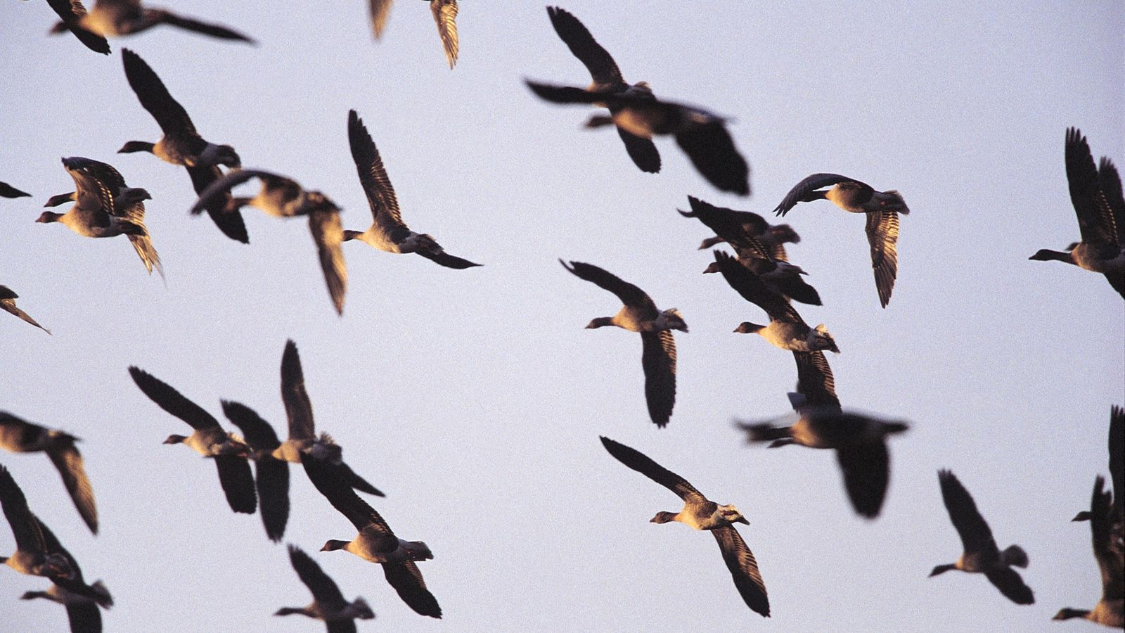 A flock of pink-footed geese fly over farmland, having flown 5,500km from their summer feeding grounds ...