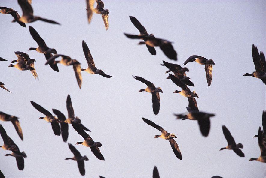 10 Epic Journeys of Britain's Winter Migrant Birds