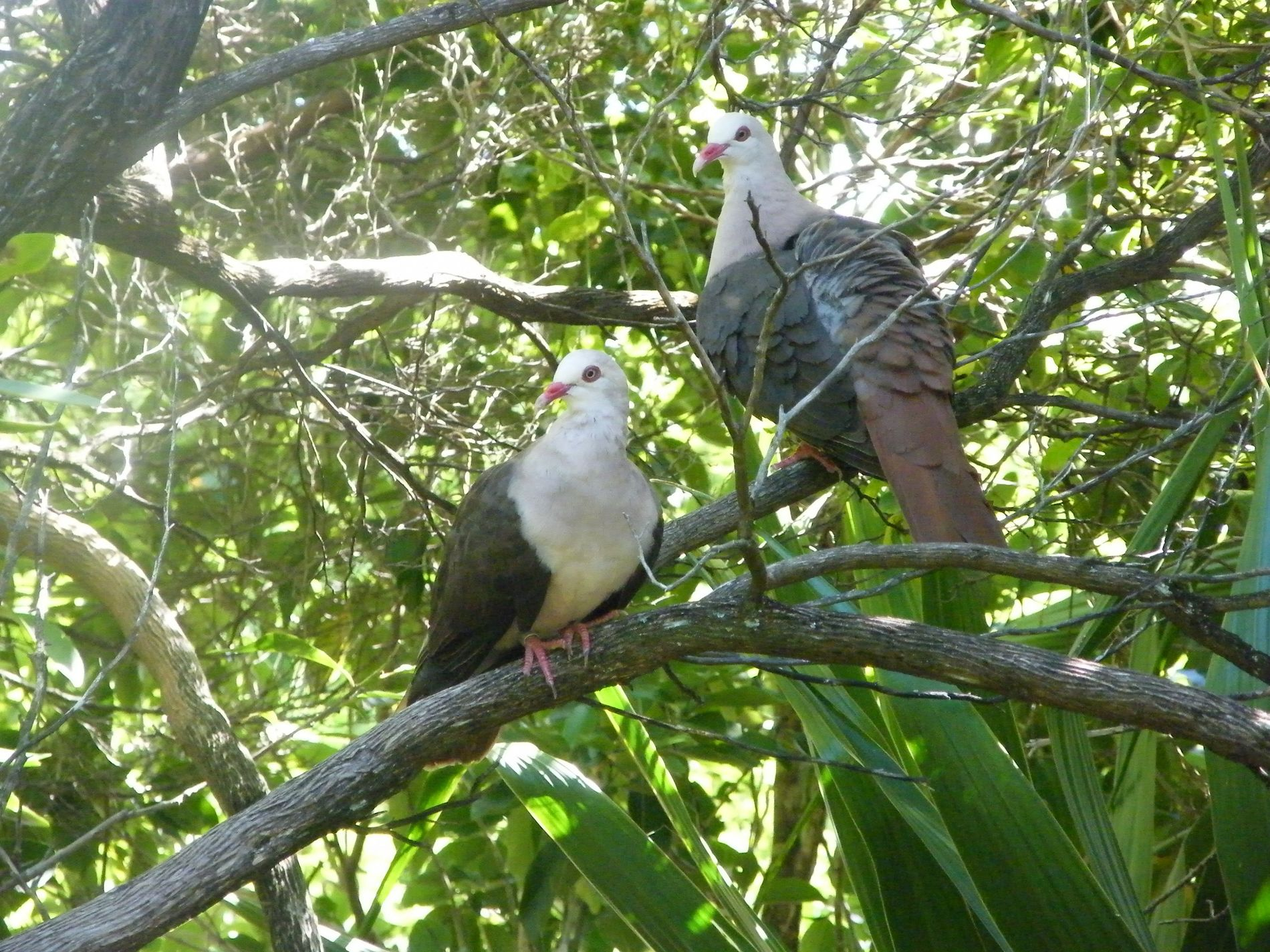 In 1990 there were just 9 pink pigeons ('Nesoenas mayeri') in the wild. A major conservation ...