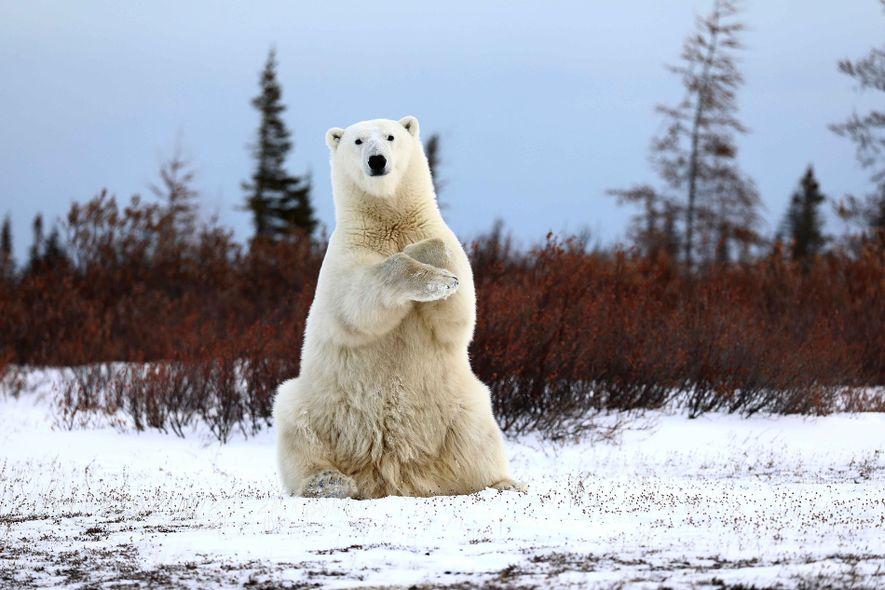 Polar bear out on the tundra.