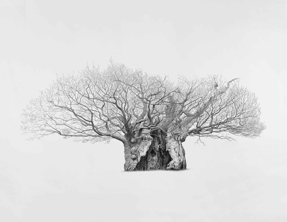 Queen Elizabeth I Oak, Lodsworth, Sussex. One of the largest oaks to be recorded in Britain, ...