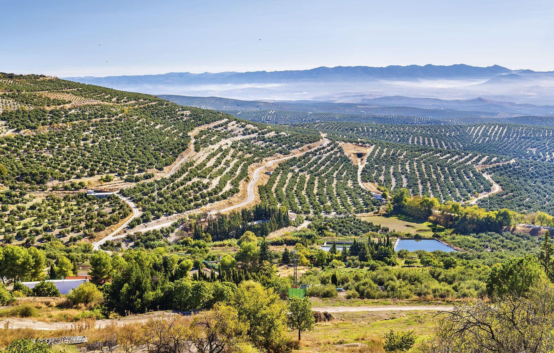 Olive groves near Úbeda
