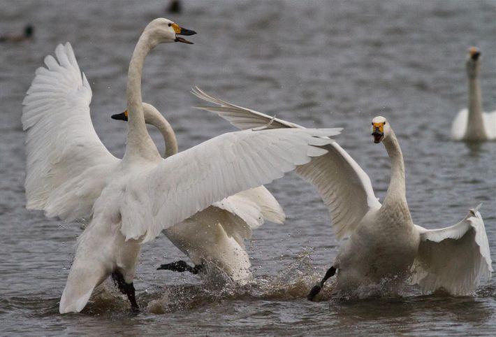 Bewick's swans display aggressive behaviour at WWT Slimbridge, Gloucestershire.