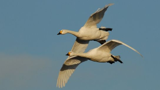 Bewick's swans flying at Slimbridge, Gloucestershire.