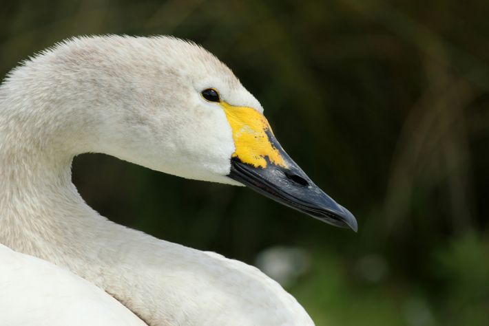 This Bewick's swan has flown into London Wetland Centre.