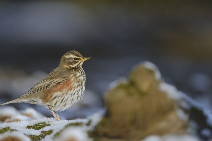 A redwing, 'Turdus iliacus', adult perched on snow covered ground at The Lodge RSPB Nature Reserve ...