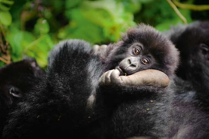Young Mountain Gorilla in Volcanoes National Park, Rwanda