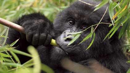 Rwanda & Uganda: In search of silver backs