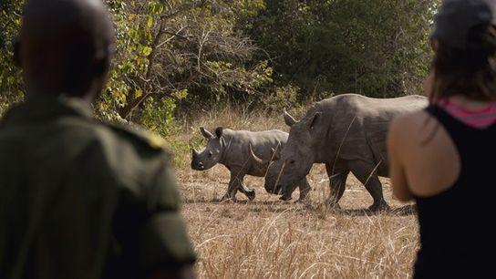Watching white rhinos on foot at Ziwa Rhino Sanctuary in Uganda