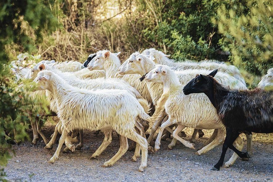 Sheep in Perdaxius