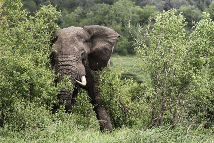 African elephant, Hluhluwe-Imfolozi. Image: Teagan Cunniffe