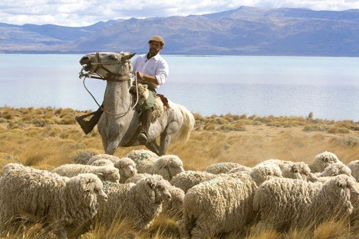 Gauchos herd sheep near Argentino Lake, Patagonia, Argentina.