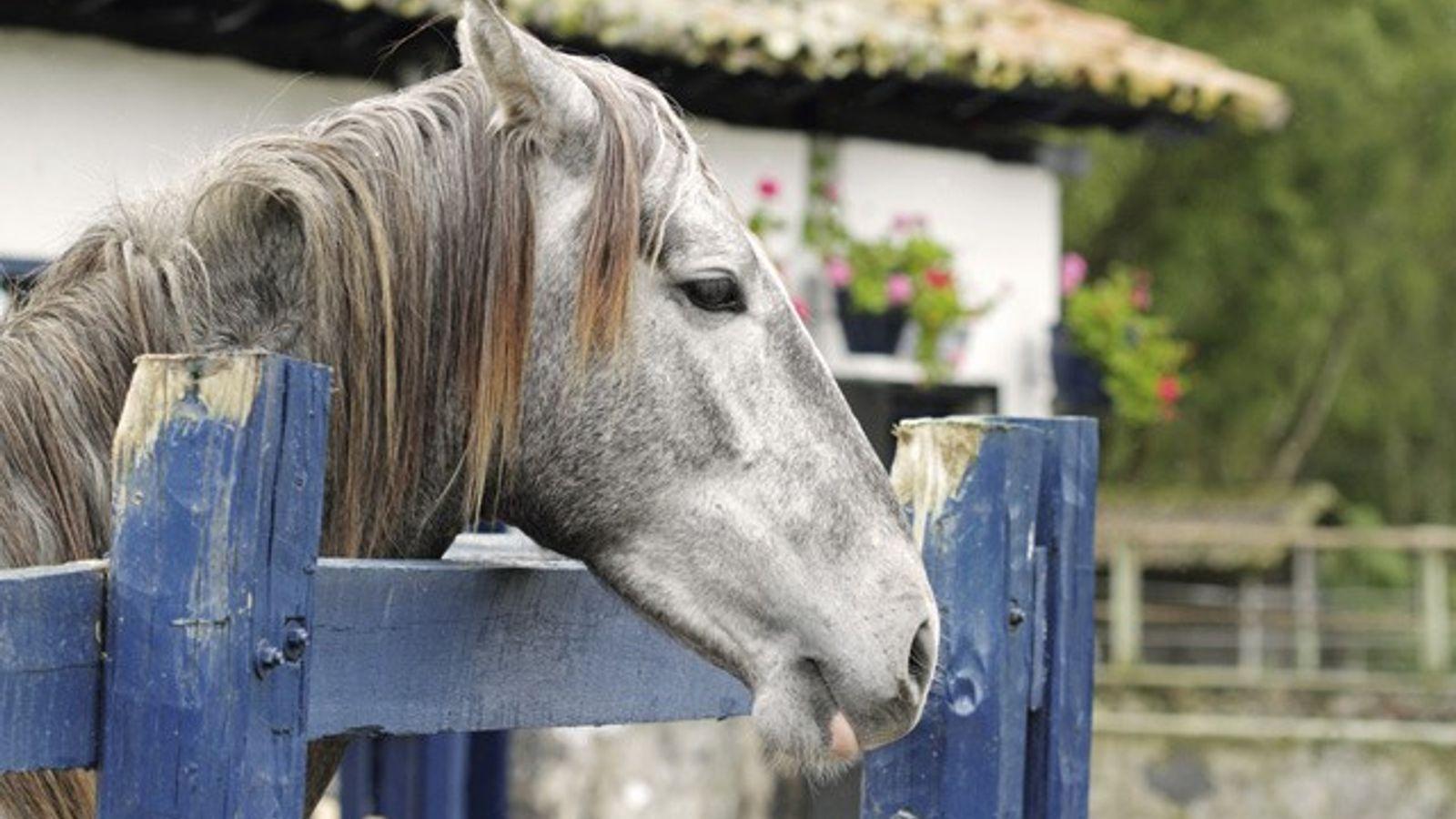 Thoroughbred horse, Hacienda Zuleta.